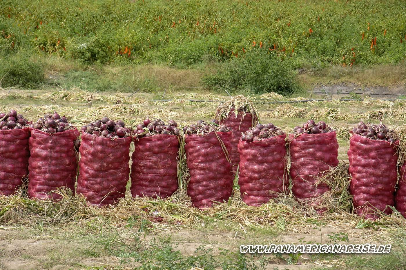 Gemüseanbau in Peru - Chili